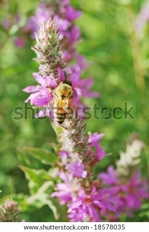 bee and purple flowers -bee close up - stock photo