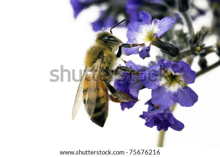 Bee, Apis mellifera, European or Western honey bee feeding on heliotrope flowers - stock photo
