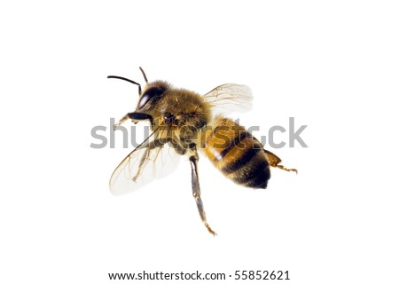 Bee, Apis mellifera, European or Western honey bee, isolated on white, wingspan 18mm - stock photo