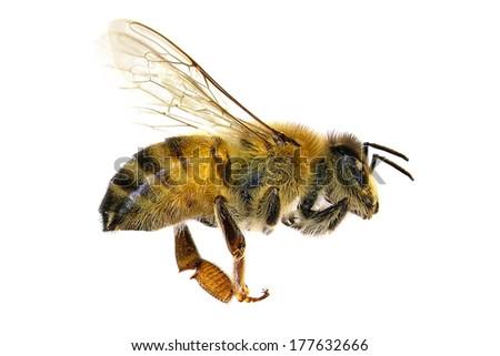 Bee (Apis mellifera). Isolated on the white background  - stock photo