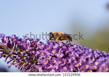 Bee closeup on flower - stock photo