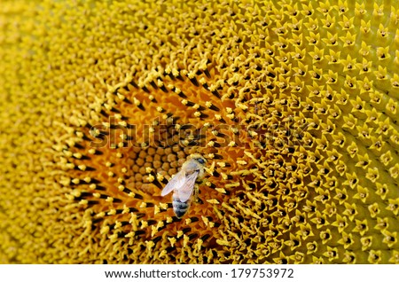 Bee collect pollen inside sunflower blossom. Hairs on Bee are covered in yellow pollen as are it's legs.  close up macro view - stock photo