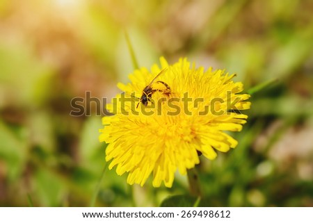Bee collect pollen on a dandelion flower a sunny day - stock photo