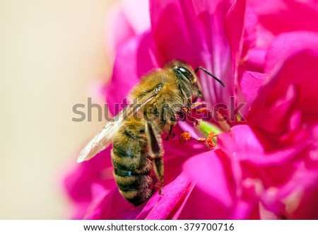 bee collecting nectar from flower - stock photo