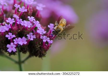 Bee collecting nectar on verbena flowers with colorful background. - stock photo