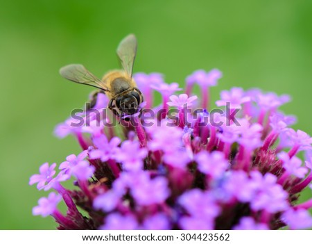 Bee collecting nectar on verbena flowers with green background. - stock photo