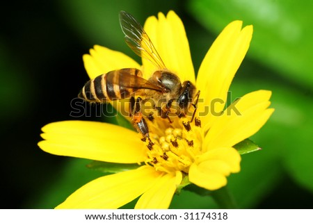 Bee collecting pollen from yellow flower - stock photo