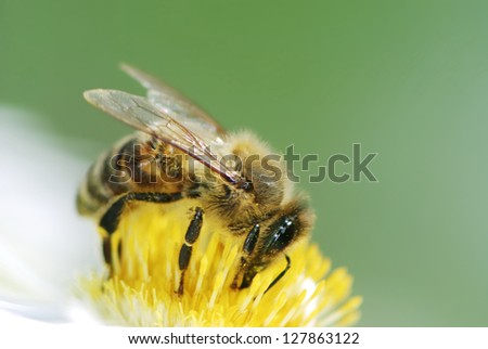 Bee collecting pollen on a aster flower