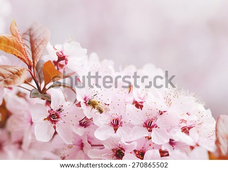 Bee collecting pollen on a cherry flower at spring - stock photo