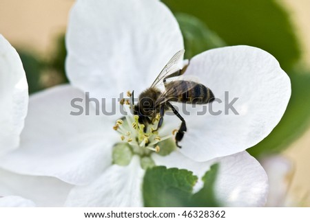 Bee collecting pollen on a spring flower - stock photo