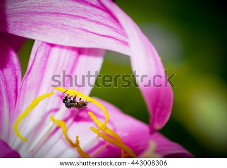 Bee collecting the yellow pollen of the pink flower, selective focus on bee - stock photo