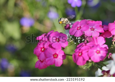 bee collects nectar on a bright pink flowers close-up