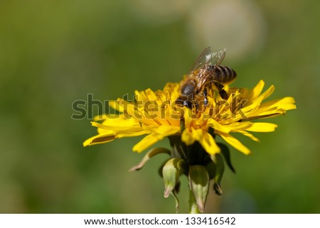 bee collects nectar on dandelion flower - stock photo