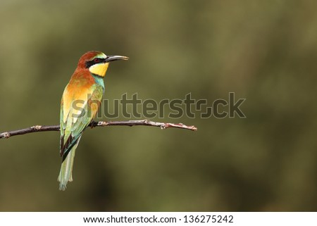 Bee eater - stock photo