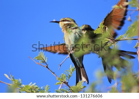 Bee-eater, Swallow tailed - African Birds - Wonderful portrait of two bee-eaters meeting at a branch near a watering hole on a game ranch in Namibia. - stock photo