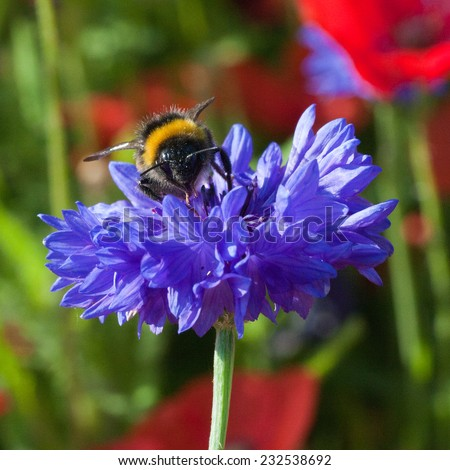 Bee feeding on nectar, British wildflower meadow, summertime - stock photo