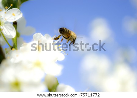 Bee flying from a blossom, close up - stock photo