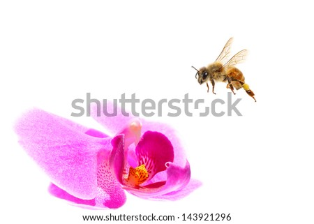 Bee flying to the orchid flower. Isolated on white background - stock photo