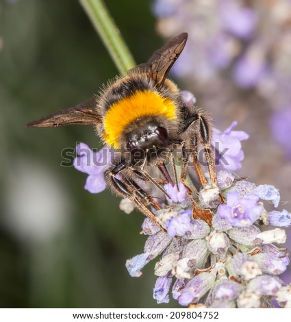 Bee gathering on lavender bloom