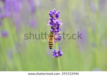 Bee gathering on lavender bloom - stock photo
