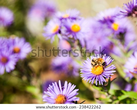 Bee gathering pollen  closeup on purple aster flower. - stock photo