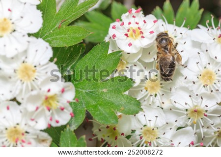 Bee gathers honey at cherry blossoms  - stock photo