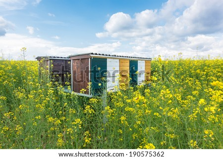 Bee hives in the field of rapeseed. Wooden beehives on oilseed meadow - stock photo