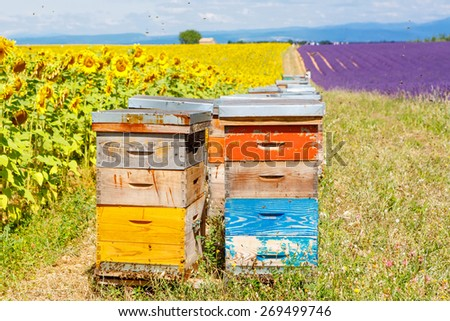 Bee hives on lavender and sunflower fields, near Valensole, Provence with a lot of bees. France. Famous, popular destination and place for tourists for making vacations in summer. - stock photo