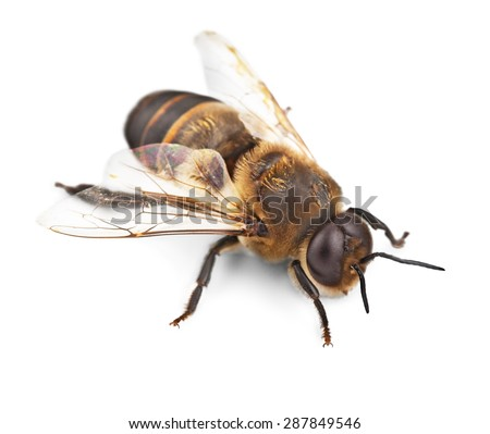 Bee, Honey Bee, Insect. - stock photo