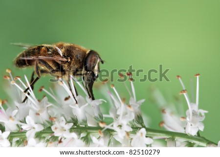 bee imitating hover-fly on a flower - stock photo