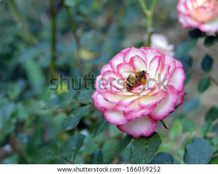 Bee in Pink and White Flower - stock photo
