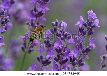 Bee in the field of the lavender