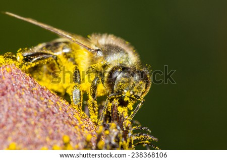 Bee in yellow pollen collecting honey. - stock photo