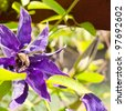 Bee is pollinate a violet clematis flower - stock photo