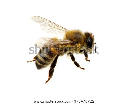 Bee isolated on the white - stock photo