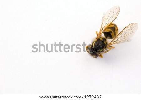 bee isolated on white background - stock photo