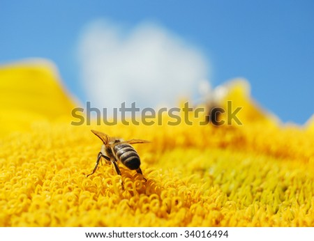 Bee on a bright sunflower with blue sky - stock photo