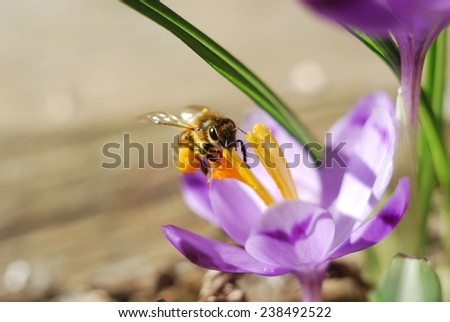 Bee on a crocus flower - stock photo