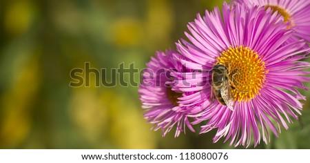 Bee on a daisy - stock photo
