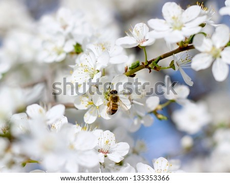 Bee on a flower close-up cherry - stock photo