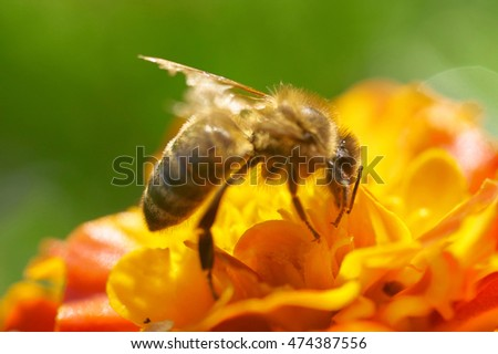 Bee on a flower close-up. sunny summer day