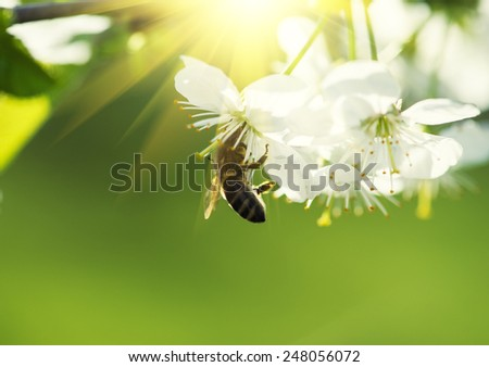 Bee on a flower of the white cherry blossoms - stock photo
