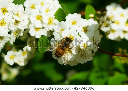 Bee on a flower of the white cherry blossoms. Macro of honey bee  on white flower