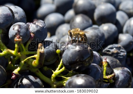 Bee on a grape - stock photo