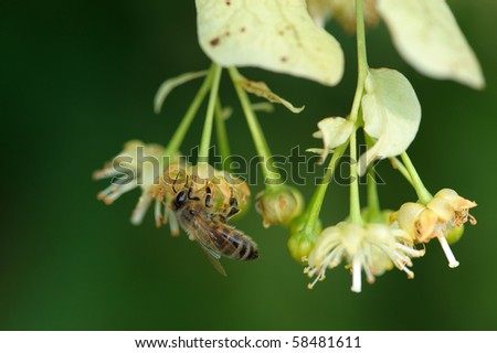 Bee on a lime flower