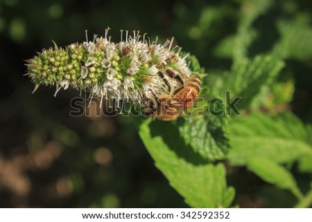 Bee on a mint flowers