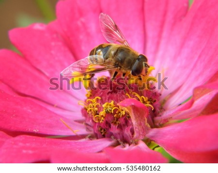 Bee on a pink flower in summer,with delicate wings.