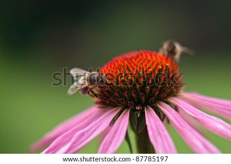 bee on a purple echinacea - stock photo
