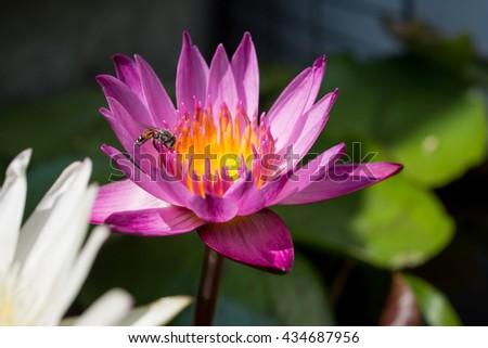 Bee on a purple lotus, selective focus. - stock photo