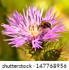 Bee on a splendid pink thistle flower and small red spiders inside, wildflowers of spring - stock photo